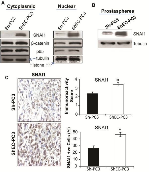 Effect of <t>E-cadherin</t> knock-down on the expression of SNAI1 and other transcriptional factors. (A) Sh-PC3 and ShEC-PC3 cells were collected at similar confluency and nuclear/cytoplasmic fractions were prepared and analyzed for SNAI1, β-catenin, and p65 expression by Western blotting. Tubulin and histone H1 were used as loading control for cytoplasmic and nuclear fractions respectively. (B) Sh-PC3 and ShEC-PC3 prostaspheres were collected following centrifugation and cell lysates were prepared and analyzed for SNAI1 expression by Western blotting. (C) Sh-PC3 and ShEC-PC3 xenograft tissues were analyzed for the expression of SNAI1 by IHC. Immunoreactivity score was analyzed in 5 random areas for each tumor tissue and was scored as 0+ (no staining), 1+ (weak staining), 2+ (moderate staining), 3+ (strong staining), 4+ (very strong staining). Percentage of SNAI1 positive cells was calculated by counting the number of positive stained cells (brown stained) and the total number of cells at five arbitrarily selected fields from each tumor at 400x magnification. The data shown in the bar diagrams is the mean±SEM of 7–10 samples. *, p ≤ 0.001.