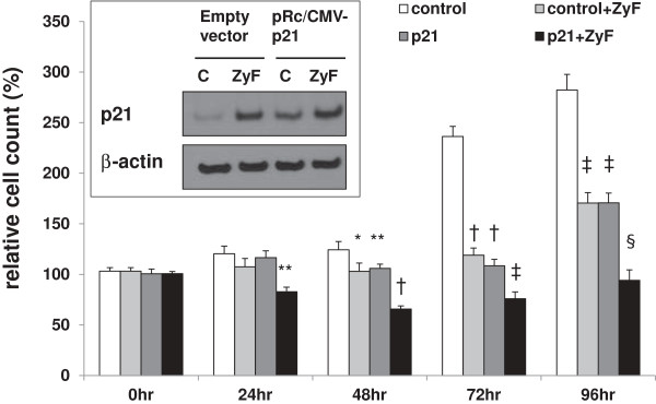 Effects of the overexpression of <t>p21</t> on cell growth in the presence or absence of Zyflamend. CWR22Rv1 cells were transfected with <t>pRc/CMV</t> (empty vector) or pRc/CMV-p21 and treated in the presence or absence of Zyflamend for 24 hr. Relative expression of p21 (protein) is presented in the insert. Following transfection with the empty vector (pRc/CMV) or pRc/CMV-p21 (p21), cells were treated ± Zyflamend for 0–96 hr. Cell proliferation was determined using the MTT assay. Control, open bar, Control + Zyflamend (Zyf), light grey bar; Control + pRc/CMV-p21 (p21), dark grey bar; Zyflamend + pRc/CMV-p21 (p21), black bar. Data are presented as the mean ± SEM. *p