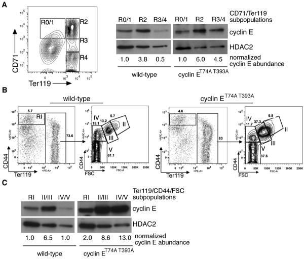 Cyclin E protein regulation during terminal erythroid maturation is phosphorylation dependent (A) Left - bone marrow cells were sorted based upon expression of CD71 and Ter119 and subpopulations collected for immunoblot and RNA analyses as shown in subsequent panels. Right - lysates were prepared from the indicated bone marrow erythroid cells pooled from two wild-type mice and immunoblotted as shown. HDAC2 expression is used as a nuclear protein control for comparing the relative abundance of the cyclin E nucleoprotein in the different erythroid cell subpopulations, given the presence of enucleated cells within the R4 gate. (B) Bone marrow erythroid cells were isolated based on CD44 vs. Ter119 expression or CD44 expression vs. forward scatter (FSC) within the Ter119-positive subset, 14 with relative abundances indicated for a representative, age- and sex-matched pair. (C) Cyclin E protein levels were determined in sorted CD44/Ter119 or CD44/FSC erythroid cell subsets shown in (B) by immunoblot (top) and quantified relative to HDAC2 (bottom).