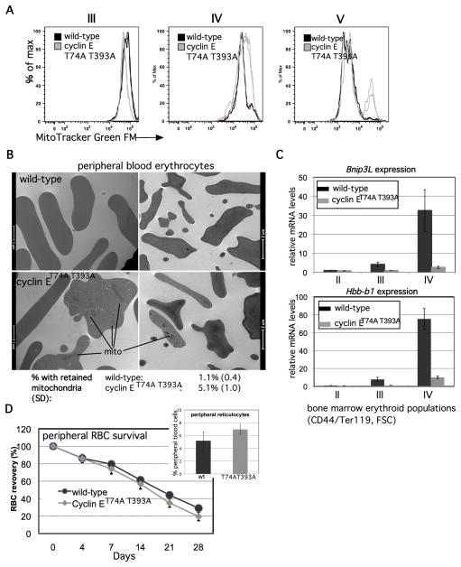 Impaired Fbw7-mediated cyclin E control dysregulates mitochondrial mass during terminal erythroid cell maturation in vivo (A) Total mitochondrial mass was compared in <t>Ter119+,</t> bone marrow erythroid cells at the indicated maturation stages, based on CD71 vs. FSC. Each histogram is comprised of data obtained from two wild-type and knock-in mice. (B) Transmission electron micrograph images of peripheral blood erythrocytes (RBCs) are shown from mice of the indicated genotypes, with mitochondria retained in cyclin E T74A T393A cells indicated by bars. Peripheral RBCs with retained mitochondria were enumerated by counting approximately 1000 cells from three mice of each genotype. Mean percentage of cells with retained mitochondria and standard deviations are shown, calculated from biological replicates. (C) Bnip3L and Hbb-b1 expression in Ter119+ cells isolated at the indicated stages of erythroid maturation based on CD44/FSC gating is shown for cyclin E T74A T393A mice, compared to age- and sex-matched wild-type controls. (D) Survival of CFSE-labeled erythrocytes obtained from mice of the indicated genotypes was compared by obtaining blood samples from wild-type recipients at the indicated times, and fractions of fluorescent RBCs determined by flow cytometry. The percentage of CFSE-positive RBCs at 12 hours after injection of labeled cells was between 7%–9% of total. Data for subsequent time points are expressed as ratios to 12-hour values and represent averages from four recipients of cells from each genotype. Calculated half-lives are: 19.1 days (wild-type) and 16.5 days (cyclin E T74A T393A ), p=0.008. Inset- peripheral blood reticulocytes were enumerated in five wild-type and cyclin E T74A T393A mice, p=0.02.