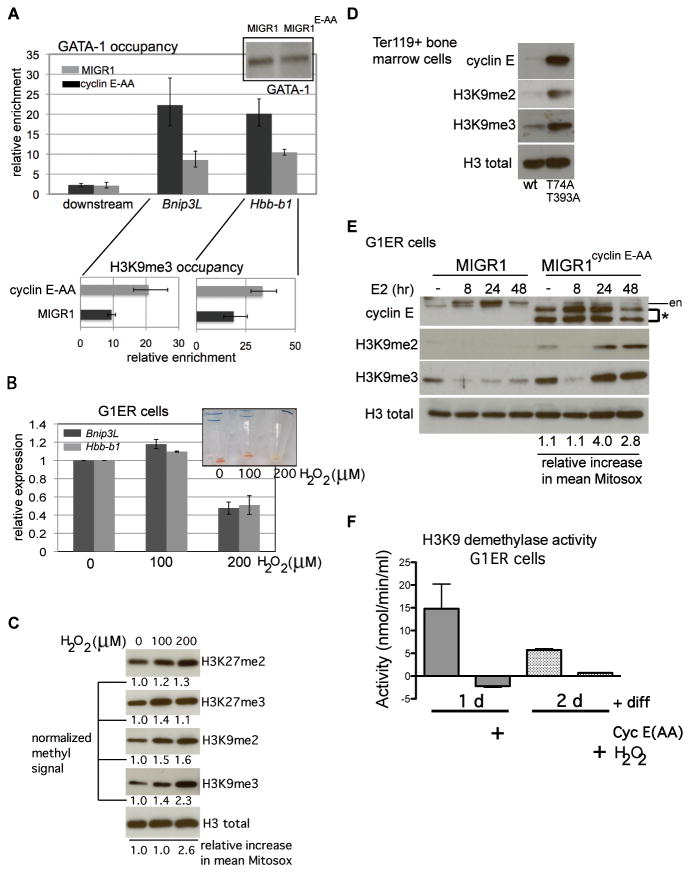 Increased reactive oxygen species, induced by cyclin E or exogenously administered, induce histone H3 lysine 9 hyper-methylation in differentiated erythroid cells and disrupt GATA-1 interactions with target genes (A) Chromatin immunoprecipitation (ChIP) analysis of GATA-1 occupancy at the Hbb-b1 promoter and Bnip3L (first intron) and a 10kb-downstream region was performed in G1ER cells transduced with the indicated constructs and induced for differentiation for 24 hours. Enrichment, relative to IgG control, is shown for one representative of three independent sets of transductions and ChIPs. Corresponding enrichment for tri-methylated H3K9 (H3K9me3) at each gene is displayed below GATA-1 occupancy data . (B) Expression of Hbb-b1 and Bnip3L was measured in differentiated G1ER cells, following treatment with hydrogen peroxide (H 2 O 2 ) at the indicated doses. Exogenous peroxide was added eight hours after induction of differentiation with beta-estradiol, and cells were collected at 48 hours. Non-viable cells were excluded from collection by detecting retained propidium iodide. Inset shows cell pellets with H 2 O 2 administration at the indicated doses (in μM). (C) Lysates were prepared from differentiated G1ER cells, following treatment with hydrogen peroxide (H 2 O 2 ) for immunoblot assays. Quantitation of each histone modification was performed with normalization to total H3 signal. Shown is a representative result from three independent experiments. Mean increases in Mitosox signal relative to untreated cells were obtained using FlowJo and are expressed relative to untreated control. (D) Ter119+ bone marrow cell lysates from mice of the indicated genotypes were electrophoresed and immunoblotted as shown. Total H3 is shown as loading control. Displayed data are representative of three independent experiments. (E) G1ER cells, transduced as shown, were collected at the indicated time points during erythroid differentiation then lysed for immunoblot analyses. (en – e