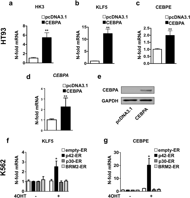 Ectopic expression of CEBPA activates HK3 and KLF5 transcription. (a–e) HT93 cells were transiently transfected with pcDNA3.1 empty control or a CEBPA expression vector. HK3 (a) and KLF5 (b) mRNA expression was quantified by qPCR. Data were normalized to HMBS and are shown as n-fold regulation as compared to control transfected cells. Induction of CEBPE mRNA, a direct target gene of CEBPA , was measured as a positive control for CEBPA activity (c). Results are the means ± s.d. of at least triplicate transfections. CEBPA transfection efficiency was measured by qPCR (d) and western blotting (e). GAPDH is shown as a loading control. (f–g) Different CEBPA-ER fusion constructs were induced by treating the respective K562 cell lines with 5 μM Tamoxifen for 24 h. HK3 (f) or KLF5 (g) mRNA expression was quantified by qPCR as in 2a. Expression of the CEBPA target CEBPE was measured as positive control for CEBPA activation in wildtype CEBPA p42 expressing K562 cells. MWU: *p
