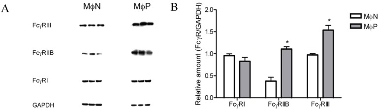 Total FcγRI, RIIB, and RIII protein in MɸN and MɸP <t>cell</t> <t>extracts.</t> ( A ) Cells from three different passages of MɸN and cells from passages 72, 83 and 87 of MɸP were lysed and FcγRI, FcγRIIB, FcγRIII and GAPDH proteins in cell extracts were determined by <t>Western</t> <t>blot</t> with specific antibodies; ( B ) The relative amount of each FcγR isoform was determined as the ratio of the densitometric intensity of the FcγR band to the intensity of the GAPDH band in the correspondent cell extract. Results are expressed as mean ± 1 SD (* indicates p