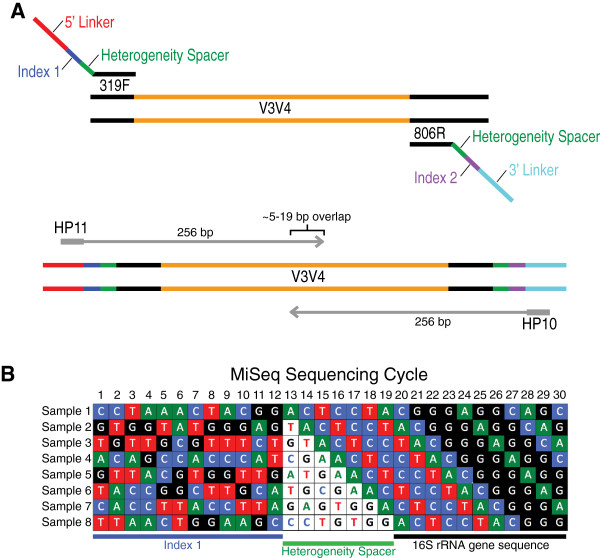 "Dual-indexed 16S rRNA gene PCR amplification strategy with heterogeneity spacer primers for sequencing on the MiSeq platform. (A) Dual-indexed PCR amplification primers targeting the V3-V4 hypervariable regions of the 16S rRNA gene contain a heterogeneity spacer region and linker sequence optimized for sequencing on the Illumina MiSeq platform. Using this approach enables sequencing using the standard Illumina HP10 and HP11 sequencing primers allowing for additional sequencing flexibility. (B) Schematic showing the first thirty sequencing cycles of eight mock amplicons prepared using the dual-indexed approach. This diagram illustrates how the index sequence and heterogeneity spacer (colored letters, white background) helps to alleviate the ""low sequence diversity"" issue associated with the MiSeq platform by creating a more even base composition at each cycle of the run."
