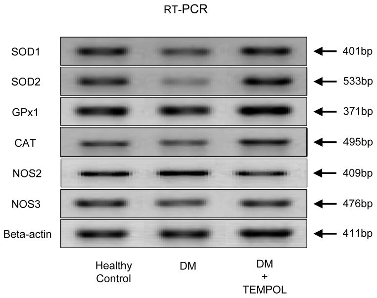 SOD1, SOD2, GPx1, CAT, <t>NOS2</t> and NOS3 mRNA expression in penile rat crura from healthy control, diabetic controls and following Tempol treatment.