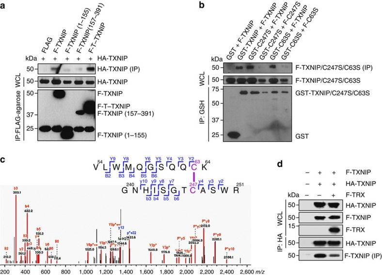 TXNIP molecules form interprotomer disulphide bonds between Cys63 and Cys247. ( a , b ) Co-immunoprecipitation assays were performed using lysates from 293 T cells transfected with combinations of FLAG-tagged (F), HA-tagged, and GST-tagged full-length TXNIP, T–TXNIP, or mutant TXNIP. Immobilized proteins on <t>FLAG-agarose</t> beads or glutathione beads were visualized by immunoblotting using anti-HA, anti-FLAG, or anti-GST antibodies. One percent of the WCL was used as the input. ( c ) Proteomic analysis of the interprotomer-interacting TXNIP molecules fractionated by SDS–PAGE under non-reducing conditions. The MS/MS spectrum shows the interprotomer disulphide bond between Cys63 and Cys247 identified as 54 VLWMQGSQQ C K 64 - 240 GNHISGT C ASWR 251 . Doubly charged [M+2H] + peptide ions at m/z 1353.64 were fragmented via higher-energy collisional dissociation. Matched peaks are shown in red. The ion types of matched peaks are written in red for b- and y-ions and blue for ions from C-S and S-S bond cleavages. Annotations used are: P, strand VLWMQGSQQCK; p, strand GNHISGTCASWR; B and Y, ions from P; b and y, ions from p; p+32, persulfide ion of p formed by C-S bond cleavage reactions. ( d ) The effect of TRX on the interaction between TXNIP molecules. Co-immunoprecipitation assays were performed using lysates from 293 T cells transfected with FLAG-tagged TXNIP, HA-tagged TXNIP and FLAG-tagged TRX. Immobilized proteins on HA-agarose beads were visualized by immunoblotting using anti-HA and anti-FLAG antibodies. ( a , b , d ) The results are representative of at least two independent experiments with similar results.