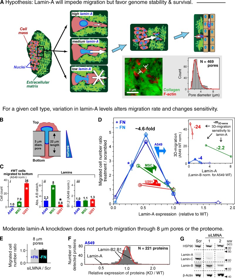 3D migration is sensitive to lamin-A levels even in the absence of major proteomic changes. (A) Hypothesis for the impact of lamin-A levels on migration. Whereas moderate expression permits migration, cells with low levels cannot withstand the stress and high levels impede migration. Inset shows confocal image of a model lung tumor in an NSG mouse and a histogram of the measured pores filled with cytoplasm. (B) Schematic of a cell passing through a filter pore. (C) Wild-type 3D migration ( i ) and lamina parameters ( ii and iii ) for human-derived cancer cells (A549, U251) and adult stem cells (MSCs). ( n ≥ 3; ±SEM; *, P ≤ 0.05). (D) Lamin-A dependence of net cell migration to the filter bottom ( n ≥ 3; ±SEM). Normalization is done to scrambled siRNA-treated cells, with lamin-A level determined by immunoblot. Filters were pre-coated with fibronectin (+FN) unless indicated (−FN). Circles, siLMNA-treated cells; asterisk, shLMNA-treated cells, normalized against wild type; squares, wild type; triangle and diamond, A549 cells transduced with GFP-lamin-A with low and high levels, respectively. Based on analyses of individual cells, siLMNA ++ gave a monomodal, low variance population of cells and did not affect lamin-B ( Fig. S2 ). Inset plot: net migration results rescaled to absolute lamin-A levels with migration normalized to wild-type A549 cells ( Fig. 1 C i ). Slopes represent the 3D migration sensitivity to moderate lamin-A changes. (E) Net migration ratio with 8-µm pore filters shows no effects of knockdown regardless of fibronectin. ( n ≥ 3; ±SEM). (F) Negligible effect on the A549 proteome after ∼50% knockdown of lamin-A, C is evident in a narrow, log-normal distribution relative to wild type. (G) Immunoblot shows little to no change in lamin-B, HSP90, and β-actin after knockdown with two different siLMNAs (1 and 2) compared with scrambled (Scr).