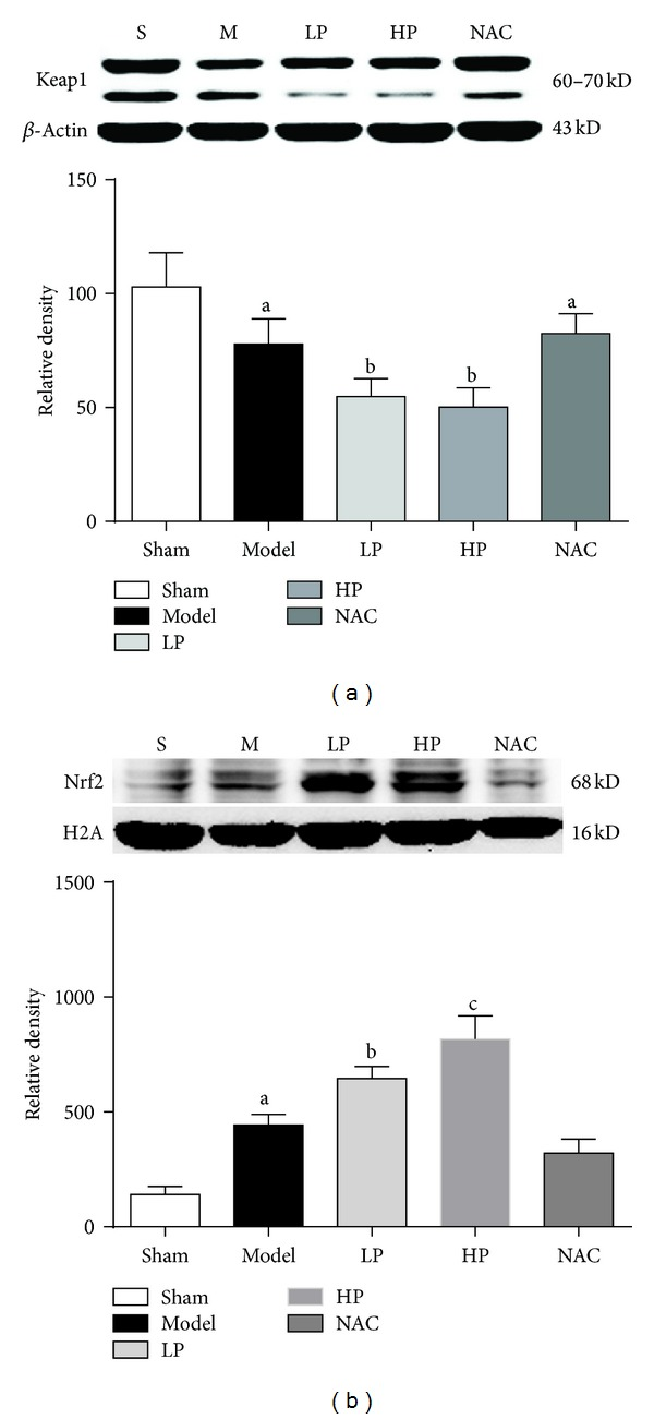 <t>Keap1</t> and nuclear Nrf2 expression in lung tissue after OALT. Group S: sham-operated group; Group M: normal saline control model group; Group LP: low-dose of propofol intervention group; Group HP: high-dose propofol intervention group. Data are presented as mean ± SD. (a) P