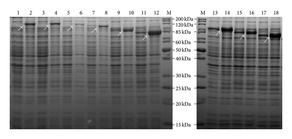 Coomassie stained gels demonstrating overexpression of recombinant Atl. The 12.5% SDS-PAGE contains protein extracts of E. coli BL21 cells with pRSETA plasmids expressing either full length or truncated Atl proteins. The odd number labels are cells grown without IPTG and the even number labels are the cells grown with IPTG. Lane M: standard protein markers; lanes 1 and 2 - Atl (full length His-tagged Atl); lanes 3 and 4: Atl-1; lanes 5 and 6: Atl-2; lanes 7 and 8: Atl-3; lanes 9 and 10: Atl-4; lanes 11 and 12: Atl-6; lanes 13 and 14: Atl-5; lanes 15 and 16: Atl-7; lanes 17 and 18: Atl-8. The Atl number suffixes are indicated in Table 1 .