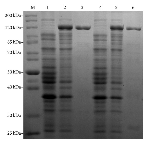 Coomassie stained gels showing purity of recombinant His-tagged Atl. Recombinant Atl and Atl-1 proteins were overproduced in E. coli and purified as described in the Materials and Methods section. Lane M: standard protein markers; lanes 1 and 2: protein extract from E. coli BL21 cells transformed with plasmids pRSETA- atl and grown without and with IPTG, respectively; lane 3: purified His-tagged Atl; lanes 4 and 5: protein extract from E. coli BL21 cells transformed with plasmids pRSETA- atl1 and grown without and with IPTG, respectively; lane 6: purified His-tagged Atl-1.