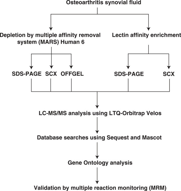 Work flow illustrating the steps involved in the proteomic analysis of OA synovial fluid. OA synovial fluid samples were pooled and subjected to depletion of abundant proteins by MARS-6 LC column and lectin affinity chromatography using three different lectins (Concanavalin A, wheat germ agglutinin and jacalin). The depleted fraction was then subjected to SDS-PAGE, SCX and OFFGEL fractionation. The lectin enriched fraction was subjected to SDS-PAGE analysis and SCX fractionation. All fractions were analyzed on LTQ-Orbitrap Velos mass spectrometer. Sequest and Mascot algorithms were used to perform database searches. Subsequently, gene ontology-based functional characterization of the identified synovial fluid proteins was carried out. Further, validation by MRM- based assays was carried out for three proteins identified from discovery studies.