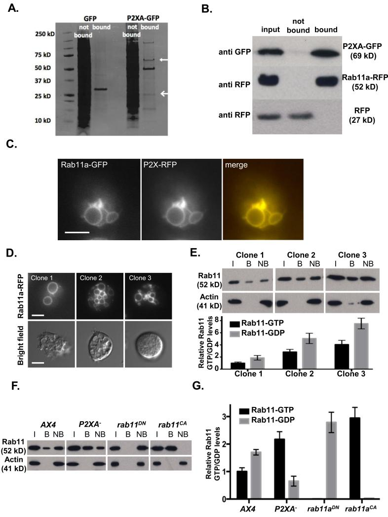 P2XA suppresses Rab11a activity A. Immunoprecipitation of GFP or P2XA-GFP from wild-type cells. P2XA is indicated with a closed arrow, Rab11a is indicated with an open arrow. B. Immunoprecipitation of Rab11a-RFP or RFP from P2XA-GFP co-expressing cells. Lysates were incubated with anti-GFP beads and input, bound and not bound fractions probed with either anti-GFP or anti-RFP antibodies. C. Localization of P2XA-RFP and Rab11a-GFP in wild-type cells. P2XA and Rab11a co-localize on the CV. D. Overexpression of Rab11a-RFP results in osmoregulation defects similar to those observed for P2XA − cells. Quantification of fluorescence levels in three clones (clone 1 = 1052 A.U., clone 2 = 2183 A.U., clone 3 = 4911 A.U.) shows that higher expression results in more small vacuoles that fail to fuse (top panel) and less recovery from osmotic shock (bottom panel). E. Quantification of Rab11a-GTP levels in the three Rab11a-RFP expressing clones by immunoprecipitation with a Rab11a-GTP specific antibody as described in Materials and Methods (I = input, B = bound, NB = not bound). A paired T test revealed that the ratio of GTP and GDP bound Rab11a was not significantly different between the three clones (p=0.89 for each pair). Error bars represent s.e.m. from n=3 three independent experiments. Statistical source data for Fig 5E can be found in Supplementary Table 2 .F. Immunoprecipitation of Rab11a-GTP from AX4 cells expressing Rab11a-RFP, P2XA − cells expressing Rab11a-RFP, wild type cells expressing dominant negative Rab11a 22 fused to RFP, and wild type cells expressing constitutively active Rab11a 22 fused to RFP. The level of Rab11a-RFP expression (input) is comparable between all strains ( > 1.25 fold difference between highest and lowest). G. Quantification of GTP and GDP bound Rab11a . A paired T test revealed a significant increase (2.2 fold) in the levels of GTP bound Rab11a in P2XA − cells compared to wild type cells (p