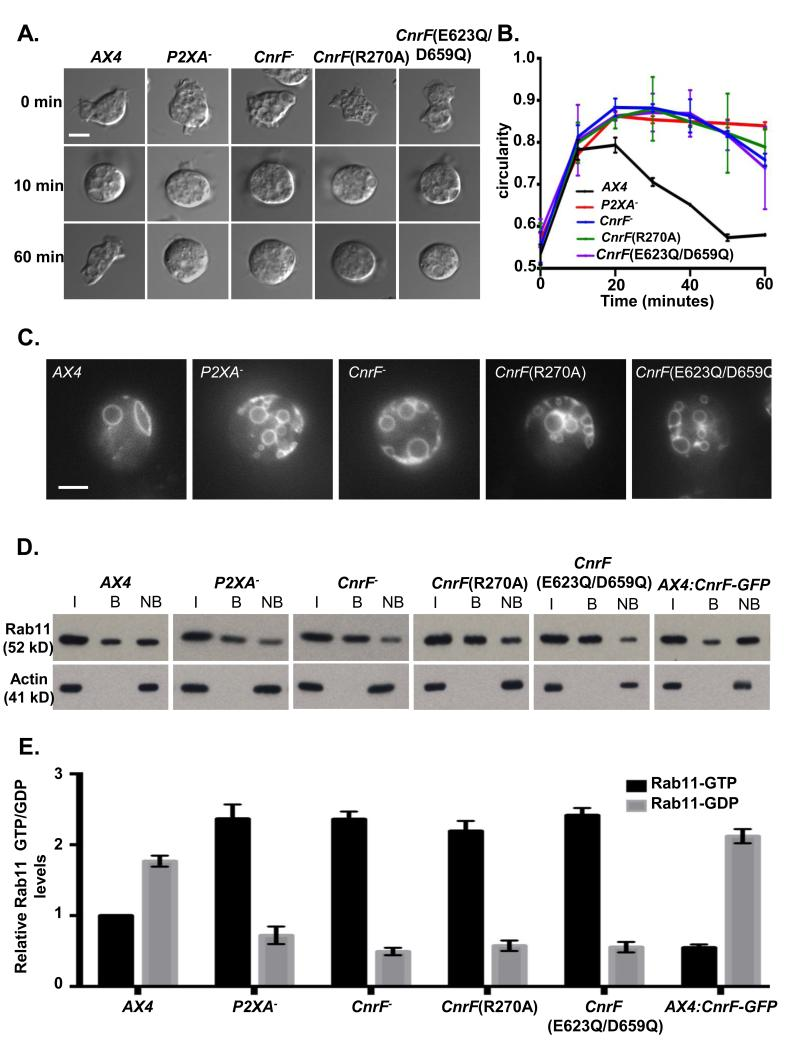 cnrF is required for normal osmoregulation and regulation of Rab11 activity A. cnrF mutant cells exhibit impaired osmoregulation. Representative bright-field images of cells in KK2, and after 10 min and 60 min after changing the media from KK2 to water to induce osmotic shock. Scale bar = 5μm. B. Time course of cell rounding and recovery. cnrF − , cnrF (R270A) and cnrF (E623Q/D659Q) mutant cells exhibit similar osmoregulation defects to P2XA − cells. Error bars represent s.e.m. from n=3 three independent experiments, each with 100 cells. Statistical source data for Fig 6B can be found in Supplementary Table 2 . C. Visualisation of CV morphology in wild-type, P2XA − cnrF − , cnrF (R270A) or cnrF (E623Q/D659Q) cells expressing Dajumin-GFP after osmotic shock .All cnrF mutants contain many irregularly sized vacuoles at the cell surface that fail to fuse. Scale bar = 5μm. D and E. Immunoprecipitation of Rab11a-GTP from wild-type, P2XA − cnrF − , cnrF (R270A), cnrF (E623Q/D659Q) and CnrF-GFP overexpressing cells expressing Rab11a-RFP (I = input, B = bound, NB = not bound). The level of Rab11a-RFP expression (input) is comparable between all strains ( > 1.3 fold difference between highest and lowest). E. Quantification of GTP and GDP bound Rab11a revealed that all mutant strains exhibit a significant (paired T test p