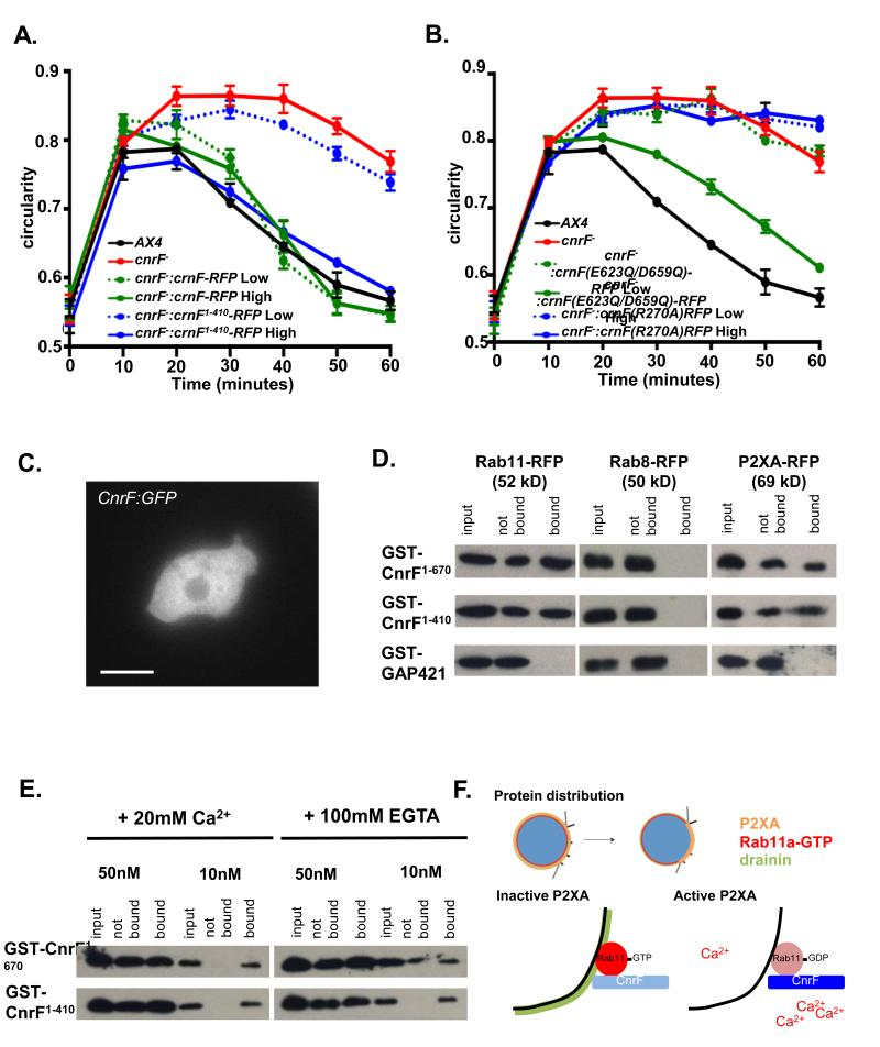 cnrF is a cytosolic calcium dependent Rab11a GAP that interacts with P2XA and Rab11a A. Rescue of cnrF mutant null phenotype by full-length (1-670) cnrF-RFP and a truncated (1-410) form of cnrF-RFP that lacks the EF hands. Cell lines were selected based on RFP expression levels. Both CnrF − CnrF 1-670 Low (2064 A.U.), CnrFCnrF 1- 670 High (10106 A.U.) and CnrF − CnrF 1-410 High (9987 A.U.) cells show an indistinguishable hypoosmotic shock response to wild type (Paired T test p > 0.01). However, CnrF − CnrF 1-410 Low (2111 A.U.) cells fail to rescue the mutant phenotype (Paired T test p > 0.05). Error bars represent s.e.m. and results are means of n=3 independent experiments, each with 100 cells. Statistical source data for Fig 8A can be found in Supplementary Table 2 .B. Rescue of cnrF − mutant phenotype by a point mutated forms of cnrF-RFP that disrupt the EF hands (cnrF(E623Q/D659Q)) or rab GAP activity (cnrF(R270A)). CnrF( E623Q/D659Q )-RFP low cells (2044 a.u.) fail to rescue the mutant phenotype (Paired T test p > 0.05), whereas cells expressing high levels of CnrF( E623Q/D659Q )-RFP (9946 A.U.) show a similar hypoosmotic shock response to wild type (Paired T test p > 0.05). Both low levels of CnrF (R270 )-RFP expression (1998 A.U.) and high levels of CnrF (R270 )-RFP expression (10042 A.U.) fail to rescue the mutant phenotype (Paired T test p > 0.05). Error bars represent s.e.m. and results are means of n=3 independent experiments, each with 100 cells. Statistical source data for Fig 8B can be found in Supplementary Table 2 . C. CnrF:GFP expression in wild type cells. Scale bar = 5 μm. D. Rab11a and P2XA (but not Rab8a) bind GST-CnrF 1-670 or GST-CnrF 1-410 , but not GST-RabGAP421 control (a related Dictyostelium EF hand domain containing RabGAP (DDB_G0275421)). E. Rab11a binding to CnrF is not calcium dependent. Varying amounts of protein from cells expressing Rab11a:RFP were incubated with beads bound with GST-CnrF 1-670 or GST-CnrF 1-410 in 20mM Ca 2+ or 10
