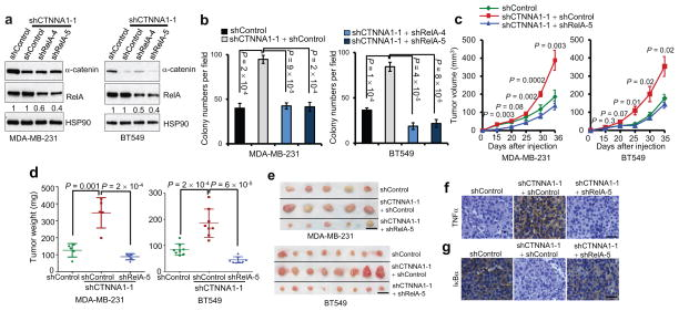 Loss of α-catenin promotes tumor growth in basal-like breast cancer cells by activating NF-κB signaling ( a ) Immunoblotting of α-catenin, RelA and HSP90 in MDA-MB-231 and BT549 cells transduced with α-catenin shRNA alone or in combination with RelA shRNA. ( b ) Soft agar colony formation by MDA-MB-231 and BT549 cells transduced with α-catenin shRNA alone or in combination with RelA shRNA. n = 4 wells per group. ( c ) Tumor growth by subcutaneously implanted MDA-MB-231 (3 × 10 6 cells injected) or BT549 (4 × 10 6 cells injected) cells infected with α-catenin shRNA alone or in combination with RelA shRNA. P values correspond to comparisons between α-catenin shRNA alone and α-catenin shRNA in combination with RelA shRNA. ( d, e ) Tumor weight ( d ) and tumor images ( e ) 5 weeks after mice were injected subcutaneously with MDA-MB-231 or BT549 cells transduced with α-catenin shRNA alone or in combination with RelA shRNA. Scale bar: 1 cm. n = 5 (for MDA-MB-231 cells) or 8 (for BT549 cells) mice per group in ( c ) and ( d ). ( f, g ) TNFα ( f ) and human-specific IκBα ( g ) immunohistochemical staining of subcutaneous tumors formed by MDA-MB-231 cells transduced with α-catenin shRNA alone or in combination with RelA shRNA, at 5 weeks after implantation. Scale bar: 50 μm. Data in ( b ) – ( d ) are the mean of biological replicates from a representative experiment, and error bars indicate s.e.m. Statistical significance was determined by a two-tailed, unpaired Student's t -test. The experiments were repeated three times. The source data can be found in Supplementary Table 4 . Uncropped images of blots are shown in Supplementary Fig. 7 .