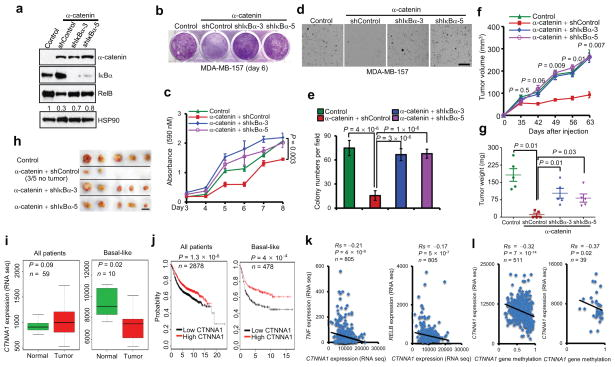 α-catenin inhibits tumorigenesis and is downregulated in human basal-like breast cancer ( a ) Immunoblotting of α-catenin, IκBα, RelB and HSP90 in MDA-MB-157 cells transduced with α-catenin alone or in combination with IκBα shRNA. ( b, c ) Images ( b ) and quantification ( c ) of growth curves of cells described in ( a ). n = 3 wells per group. ( d, e ) Images ( d ) and quantification ( e ) of soft agar colony formation by cells described in ( a ). Scale bar: 100 μm. n = 5 wells per group. ( f ) Tumor growth by 3 × 10 6 subcutaneously injected cells described in ( a ). P values correspond to comparisons between α-catenin alone and α-catenin in combination with IκBα shRNA (shIκBα-3) in ( c ) and ( f ). ( g, h ) Tumor weight ( g ) and tumor images ( h ) of mice described in ( f ). Scale bar: 1cm. n = 5 mice per group in ( f ) and ( g ). ( i ) Box plots comparing CTNNA1 expression in normal breast tissues and in total ( n = 59) and basal-like ( n = 10) breast tumors. Statistical significance was determined by the Wilcoxon test. The boxes show the median and the interquartile range. The whiskers show the minimum and maximum. ( j ) Kaplan-Meier curves of relapse-free survival times of total breast cancer patients ( n = 2878) and patients with basal-like breast cancer ( n = 478), stratified by CTNNA1 expression levels. Data were obtained from http://kmplot.com/analysis/ 34 . Statistical significance was determined by the log-rank test. ( k ) Scatterplots showing the inverse correlation of CTNNA1 with TNF (left panel) or RELB (right panel) expression in human breast tumors ( n = 805). ( l ) Scatterplots showing the inverse correlation between methylation of the CTNNA1 gene and CTNNA1 expression in total (left panel, n = 511) and basal-like (right panel, n = 39) breast tumors. Statistical significance in ( k ) and ( l ) was determined by Spearman rank correlation test. Rs = Spearman rank correlation coefficient. Data in ( c ) and ( e ) – ( g ) are the mean of biological replicates from a representative experiment, and error bars indicate s.e.m. Statistical significance was determined by a two-tailed, unpaired Student's t -test. The experiments were repeated three times. The source data can be found in Supplementary Table 4 . Uncropped images of blots are shown in Supplementary Fig. 7 .