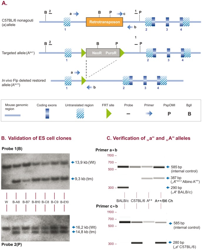 Restoration of the agouti locus in C57BL/6NTac ES cells and mice. (A) Gene targeting strategy. The Neomycin (NeoR)/Puromycin (PuroR) selection marker is displayed as a grey box (neoR and puroR). Numbered dashes indicate external probes used for Southern Blot analysis of ES cell clones, lettered arrows indicate oligos used for genotyping of mice. Deletion of the FRT flanked selection was obtained in vivo simultaneously with germline transmission. ( B ) Southern Blot validation with genomic DNA isolated from 6 ES cell clones and wildtype C57BL/6 genomic DNA as a control (W) using external probe 1 in combination with BglI restriction digest (upper panel, Probe 1, B) leading to a wildtype allele of 13,9 kb (Wt) and a targeted allele of 9,3 kb (tm) and confirmatory Southern Blot validation with external probe 2 in combination with PspOMI restriction digest (lower panel, Probe 2, P), leading to a wildtype allele of 16,2 kb (Wt) and a targeted allele of 14,8 kb (tm). ( C ) PCR verification. Clone B-B10 was selected for chimera generation and germline transmission. Primer combinations a + b (upper panel) resulted in amplification of a 290 bp wildtype A allele in BALB/c control mice (lane 1, BALB/c) and a 387 bp restored A tm1.1 allele in homozygous Albino A++ mice (lane 3,A++) and in chimeras generated with C57BL/6 ES cells injected in homozyogus A++ host embryos (lane 4, A++/B6 Ch). Primer combinations c + b (lower panel) amplified a 280 bp C57BL/6 wildtype a allele in C57BL/6 control mice (lane 2, C57BL/6) and in A++/B6 Ch (lane 4, A++/B6 Ch). Note: PCR amplicons are of different size for the BALB/c A and the A++ restored A tm1.1 alleles. Also, in contrast to homozygous A++ mice, A++/B6 Ch amplify both, the ES cell derived a and the A++ derived A tm1.1 alleles.