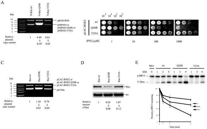 Effects of Y25A and Q36R on the catalytic activity of RNase E in vivo and in vitro . (A) Plasmid copy number of pNRNE4, pNRNE4-Q36R and pNRNE4-Y25A in KSL2000. Plasmids were purified from KSL2000 cells harboring pNRNE4, pNRNE4-Q36R or pNRNE4-Y25A and were digested with Hin dIII, which has a unique cleavage site in all of the plasmids tested. Plasmid copy number was calculated relative to the concurrent presence of the pSC101 derivative (pBAD-RNE), which replicates independently of Rne, by measuring the molar ratio of the ColE1-type plasmid to the pBAD-RNE plasmid. (B) Growth characteristics of KSL2003 cells expressing wild-type N-Rne or the Q36R or Y25A mutant proteins. Growth of KSL2003 cells harboring pLAC-RNE2, pLAC-RNE2-Q36R, or pLAC-RNE2-Y25A was measured individually on LB-agar plates containing 1.0 to 1000 µM IPTG. Numbers on the top indicate the number of bacterial cells in each spot. (C) Plasmid copy number of pET28a in KSL2003. Plasmids were purified from KSL2003, KSL2003-Q36R or KSL2003-Y25A cells harboring pET28a and digested with Hin dIII, which has a unique cleavage site in all the plasmids tested. Plasmid copy number was calculated relative to the concurrent presence of the pSC101 derivative (pLAC-RNE2, pLAC-RNE2-Q36R or pLAC-RNE2-Y25A) by measuring the molar ratio of the ColE1-type plasmid to the pSC101-derived plasmid. (D) Expression profiles of Rne and mutant proteins in KSL2003. The membrane probed with an anti-Rne polyclonal antibody was stripped and reprobed with an anti-S1 polyclonal antibody to provide an internal standard. The relative abundance of protein was quantified by setting the amount of wild-type Rne to 1. KSL2003 cells were grown in LB medium containing 10 µM IPTG. (E) In vitro cleavage of p-BR13 by wild-type N-Rne, Q36R and Y25A mutant proteins. Two pmol of 5′ end-labeled p-BR13 was incubated with 1 pmol of purified wild-type N-Rne or Q36R or Y25A mutant protein in 20 µl of cleavage buffer at 37°C. Samples were removed at each indi
