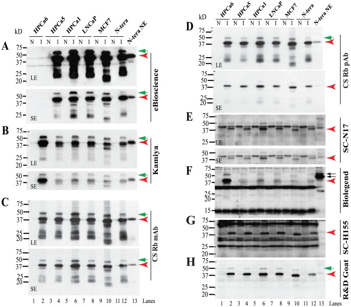 Reactivity of rNanogP8 and rNanog proteins towards 8 anti-Nanog Abs. WB analysis using 8 anti-Nanog Abs (A-H). Cell types from which the initial cDNAs were cloned are indicated on top. Individual Abs are indicated on the right and M.W on the left. For some Abs, both a long (LE) and short (SE) exposures were shown. N: non-induced; I: induced by IPTG (see Methods ). The red arrowheads in each panel indicate the 42 kD major Nanog protein and green arrows point to minor upper bands. In panel F, the two arrows point to the ∼48/54 kD doublets recognized by the <t>BioLegend</t> Rb <t>pAb.</t>