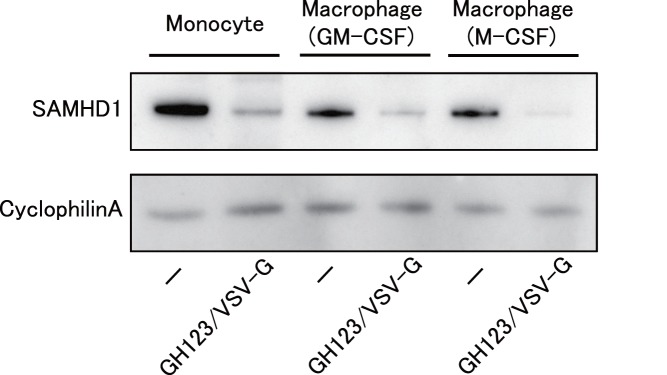 Western blot analysis of SAMHD1 in undifferentiated monocytes and macrophages. Monocytes were differentiated into macrophages for 6 days in the presence of GM-CSF or M-CSF. Macrophages or monocytes were treated with or without VSV-G-pseudotyped and Env-defective HIV-2 particles (GH123/VSV-G), and harvested. Whole-cell extracts were separated on SDS-PAGE and analyzed by western blot using the indicated antibodies. Presented data are representative of two independent experiments.