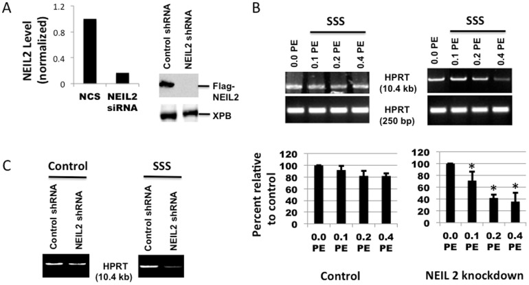 Effect of NEIL2 knockdown on induction of oxidative DNA damage by exposure to SSS for 24 HPRT gene using LA-QPCR. (A) left: NEIL2 knockdown from hPF was tested by qRT-PCR; right: Western blots showing shRNA-mediated knockdown of NEIL2 in HEK293 cells expressing Flag-NEIL2. (B) Cultured hPF with NEIL2 knockdown were treated with 3 doses of SSS extract as compared to the control followed by DNA isolation and digestion with Fpg and Nei as described in Materials and Methods. The DNA was used as template for HPRT large and short fragment amplification by LA-QPCR assay. The histogram depicts the mean % of DNA tail ± SEM of 3 to 4 independent experiments. The symbol * means that the differences between the Control and NEIL 2 knockdown were statistically significant (P