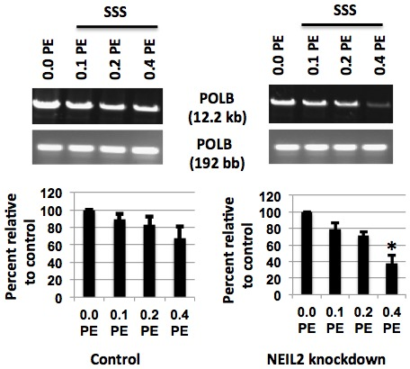 Effect of NEIL2 knockdown on induction of oxidative DNA damage by exposure to SSS for 24h in the human POLB gene using LA-QPCR. (A) Cultured primary hPF with NEIL2 knockdown were treated with 3 doses of SSS extract as compared to the control on the left, followed by processing of the DNA with Fpg and Nei. The DNA was used for Polβ ( POLB ) large and short fragment amplification by LA-QPCR. Quantification was with ImageQuant (Molecular Dynamics). The histogram depicts the mean % of DNA tail ± SEM of 3 to 4 independent experiments. The symbol * means that the differences between the Control and NEIL2 knockdown were statistically significant (P