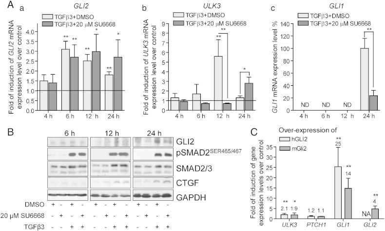 TGF-β induced positive regulation of GLI2 protein is inhibited by SU6668 in MDA-MB-231 cells. (A, B) MDA-MB-231 cells were treated with DMSO or 20 μM SU6668 in the presence of TGF-β3 during the indicated periods of time. (A) GLI2 (a), ULK3 (b) and GLI1 (c) mRNA levels were analyzed by qPCR, normalized with GAPDH expression level and set as 1 in the control cells treated with DMSO (indicated by baseline on the panels a and b). The level of GLI1 mRNA expression in the cells treated with TGF-β was set as 100%. The data are presented as an average fold of induction of gene expression level over a control ± S.D. (B) Whole cell lysates were subjected to WB analysis. GLI2 protein was detected using AF3635 antibody. (C) MDA-MB-231 cells were transfected either with plasmids encoding mouse mGli2 or human hGLI2. The levels of the indicated gene expression were measured by qPCR after 18 h. The data are presented as an average fold of induction ± S.D. of the particular gene expression level over a control level measured in the cells transfected with an empty vector; (A, C) *—p