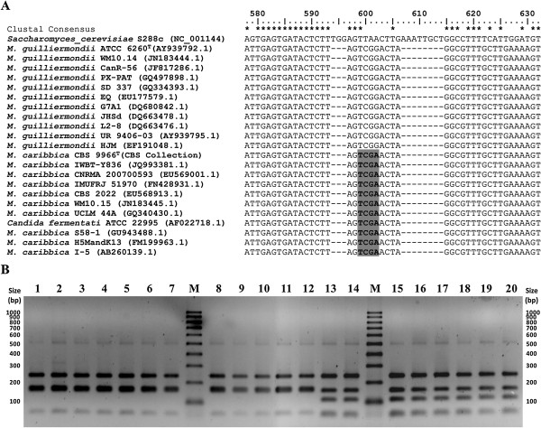 Differentiation of M. guilliermondii and M. caribbica by Taq I digestion of ITS1-5.8S-ITS2. A : Multiple sequence alignment of representative ITS1-5.8S-ITS2 sequences of the two species obtained from NCBI GenBank and CBS yeast database showing position of Taq I recognition site (highlighted) which distinctly differentiated the two species. B : Taq I restriction digestion profile of ITS1-5.8S-ITS2 amplicons obtained from some of the representative isolates. Lane 1: C. guilliermondii ATCC 6260; Lane 2 − 12: isolates of M. guilliermondii genotype group MG (A1S10Y1, A2S10Y1, A3S9Y1, A2S9Y1, A3S11Y1, A3S2Y1, A3S6Y1, A2S6Y1, A1S9Y1, Kw3S3Y1 and Kw2S11Y2); Lane 13 – 20: isolates of M. caribbica genotype group MC (A1S10Y2a, A1S10Y3, A1S10Y5, Kw3S2Y1, Kw2S3Y1, Kw3S3Y3, Kw3S3Y4 and Kw1S7Y2); Lane M: PCR 100 bp Low DNA ladder (Sigma-Aldrich).