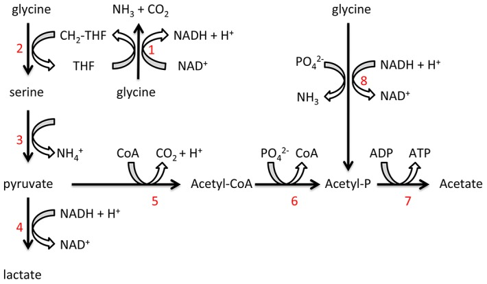 Proposed T. denticola glycine catabolic pathways. Glycine can be oxidized by the glycine cleavage system (1), producing NH 3 , CO 2 and CH 2 -THF. Glycine and CH 2 -THF can be condensed to form serine by serine hydroxymethyltransferase (2). Serine is deaminated to produce pyruvate by serine dehydratase (3). Lactate dehydrogenase (4) catalyzes the interconversion of pyruvate and lactate with concomitant interconversion of NADH and NAD + . Pyruvate can also be metabolized to acetate by pyruvate-ferredoxin oxidoreductase (5), phosphate acetyltransferase (6) and acetate kinase (7). Glycine can also be reduced to acetyl-P by the glycine reductase system (8).
