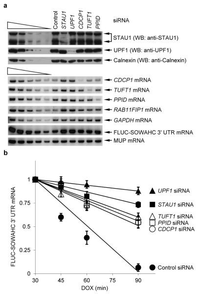 mRNA–mRNA duplexes create SBSs and trigger SMD a , Western blot (upper) or RT-sqPCR(lower) of lysates of HeLa Tet-Off cells that had been transiently transfected with the specified siRNA (see Supplementary Fig. 3c for data using alternative siRNAs) in the presence of 2 μg/ml of doxycycline (DOX) and, after removing doxycycline 48-h later, with pTRE-FLUC-SOWAHC 3' UTR, which contains a doxycycline-repressible promoter, and the phCMV-MUP reference plasmid. The removal of DOX elicits a transcriptional burst in FLUC-SOWAHC 3' UTR mRNA production. A fraction of cells was harvested after an additional 4-h (time 0) and analyzed. b , Plot of RT-sqPCR data using samples shown in a that were further processed as follows. At time 0, 2 μg/ml of doxycycline were added to the remaining cells. Additional fractions of cells were harvested at the specified times thereafter. RT-sqPCR analyses were essentially as in Fig. 1b. As in Fig. 1d , the levels of exogenous FLUC-SOWAHC 3' UTR mRNAs were comparable to the level of cellular SOWAHC mRNA. Error bars, s.e.m.; # of independently performed experiments = 3; P