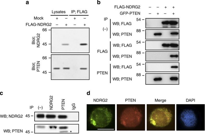 NDRG2 is a novel PTEN-interacting protein. ( a ) The KK1 cell lysates transfected with the mock or FLAG-NDRG2 vector were immunoprecipitated with an anti-FLAG antibody, and the western blots were probed with the indicated antibodies. IP, immunoprecipitation. The data are representative of three experiments. ( b ) Exogenously expressed PTEN and NDRG2 were co-immunoprecipitated in 293T cells (WB, western blot). The data are representative of three experiments. ( c ) The co-immunoprecipitation of endogenous PTEN and NDRG2 was performed in MOLT4 cell lysates. On the input lane (−), 1/200 of the input was loaded for detection of NDRG2. Asterisk, nonspecific band. The data are representative of three experiments. ( d ) The co-localization of endogenous PTEN and NDRG2 was determined in MOLT4 cells. The nuclei were labelled with DAPI. Scale bar, 10 μm. The data are representative of three experiments.
