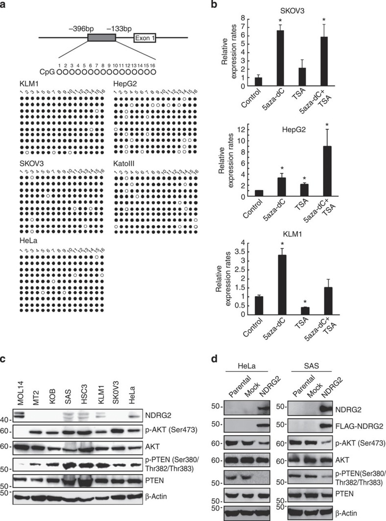 Downregulation of NDRG2 is associated with enhanced phosphorylation of PTEN-Ser380/Thr382/Thr383 and enhanced activation of PI3K-AKT in various cancers. ( a ) Bisulfite genomic sequencing of the NDRG2 promoter region in the KLM1 (pancreatic cancer), SKOV3 (ovarian cancer), HeLa (cervical cancer), HepG2 (hepatic cancer) and KatoIII (gastric cancer) cell lines. PCR products amplified from bisulfite-treated genomic DNA were subcloned, and ten clones in each cell line were sequenced. Open circles indicate unmethylated CpGs (Thy) and filled circles indicate methylated CpGs (Cyt). The region sequenced spans from −396 bp to −133 bp. ( b ) SKOV3, HepG2 and KLM1 cells were cultured with 10 μM 5-aza-dC for 72 h, with 1.2 μM TSA for 48 h, or with 1.2 μM of TSA for 48 h, followed by 10 μM of 5-aza-dC for 24 h. After treatments, total RNA was extracted and quantitative RT–PCR was performed with NDRG2 and β-actin. The relative amounts of mRNA were normalized against β-actin mRNA and expressed relative to the mRNA abundance in untreated cells. The mean±s.d. is shown; * P