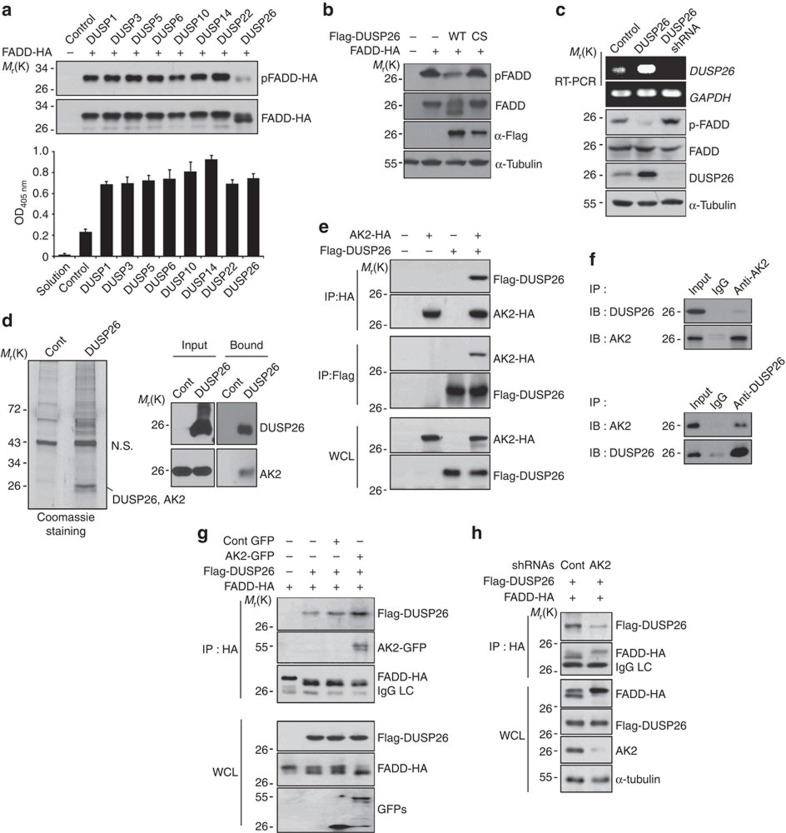 Isolation of DUSP26 as a FADD phosphatase and an AK2-binding partner. ( a ) HEK293T cells were co-transfected with p-FADD-HA and each phosphatase cDNA for 24 h, cell extracts were subjected to western blotting using anti-p-FADD and anti-FADD antibodies and to phosphatase assays with pNPP. Bars represent mean±s.d. ( n =3). ( b ) HEK293T cells were co-transfected with FADD-HA and pcDNA3, Flag-DUSP26 or Flag-DUSP26 C152S for 24 h, and cell extracts were then analysed by western blotting. ( c ) HeLa cells were transfected with pSuper, pDUSP26 or pDUSP26 shRNA for 36 h, after which cell extracts were subjected to western blotting using anti-p-FADD, anti-FADD and anti-α-tubulin antibodies. Total RNAs were purified and analysed with RT–PCR using DUSP26- or GAPDH-specific synthetic oligonucleotides as primers. ( d ) HEK293T cells were transfected with p3 × Flag or p3 × Flag-DUSP26 for 36 h, and cell extracts were prepared and subjected to the pull-down assay using anti-FLAG agarose-beads. The bound proteins were resolved by SDS–PAGE, stained with Coomassie-blue, and analysed by LC-MS/MS or analysed by western blotting using the indicated antibodies. NS indicates non-specific signal. ( e ) HEK293T cells were co-transfected with pAK2-HA and pFlag-DUSP26 for 36 h and cell extracts were subjected to immunoprecipitation (IP) assay using anti-HA or anti-Flag antibody. Whole-cell lysates and the immunoprecipitates were probed by western blotting with anti-FLAG or anti-HA antibody. ( f ) HeLa cell extracts were subjected to IP analysis using anti-AK2 or anti-DUSP26 antibodies and then the immunoprecipitates were analysed by western blotting with the indicated antibodies. ( g ) AK2 over-expression enhances the binding of DUSP26 to FADD. HEK293T cells were co-transfected with Flag-DUSP26, FADD-HA and either GFP or AK2-GFP for 36 h, after which cells extracts were subjected to IP analysis using anti-HA antibody. Expression levels of Flag-DUSP26, FADD-HA, GFP and AK2-GFP in whole-cell 