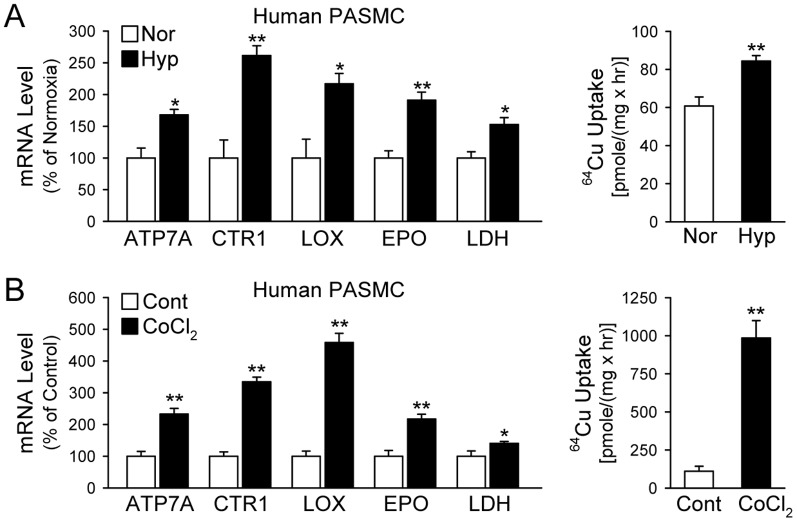 Hypoxia-mediated upregulation of mRNA expression of Cu transporters (CTR1, ATP7A) and lysyl oxidase (LOX) is associated with an increase in Cu transportation in human pulmonary arterial smooth muscle cells (PASMC). A: Real-time RT-PCR analysis on ATP7A, CTR1, and LOX (left panel) and 64 Cu uptake (mean±SE) in human PASMC exposed to normoxia (Nor) and hypoxia (Hyp, 3% O 2 for 48 hrs, n = 3; right panel). B: Real-time RT-PCR analysis on ATP7A, CTR1, and LOX (left panel) and 64 Cu uptake (mean±SE, right panel) in human PASMC treated with vehicle (Cont) and CoCl 2 (100 µM for 48 hrs, n = 3; right pane). Lactate dehydrogenase (LDH) and erythropoietin (EPO) were used as positive controls. * P