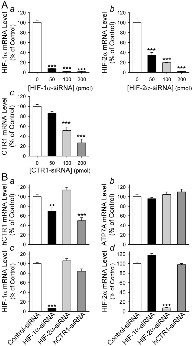 Downregulation of HIF-1α by siRNA significantly attenuates mRNA expression of CTR1 in hypoxic PASMC. A: Real-time RT-PCR analysis on HIF-1α ( a ), HIF-2α ( b ) and CTR1 ( c ) in hypoxic PASMC treated with (50–200 pmol) or without (0 pmol) siRNA specifically targeting HIF-1α, HIF-2α and CTR1, respectively. Data are shown in mean±SE. *** P