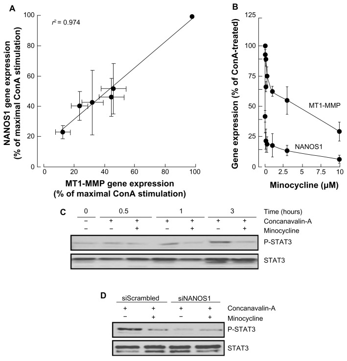 Minocycline inhibits ConA-induced NANOS1 expression and phosphorylation of STAT3. ( A ) Serum-starved HepG2 hepatoma cells were treated with increasing ConA concentrations. NANOS1 and MT1-MMP gene expression was expressed as the percentage of maximal ConA-induced effect for each gene. ( B ) ConA-treated HepG2 hepatoma cells were incubated with up to 10 μM minocycline for 24 hours. Total RNA was isolated, cDNA synthesized, and qPCR performed as described in the Methods section. The levels of STAT3 phosphorylation were assessed in cells that were ( C ) treated with 30 μg/mL ConA in the presence or absence of 10 μM minocycline or ( D ) transiently transfected with either a control siRNA (siScrambled) or an siRNA directed against NANOS1 (siNANOS1). A representative qPCR profile, from two independent experiments, is shown for the corresponding genes. Data represent mean values from triplicates.