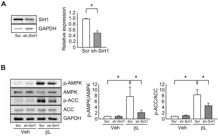 Knockdown of Sirt1 inhibits activation of the AMPK signaling pathway by β-Lap. A . H9C2 cells were transfected with a plasmid harboring a scrambled shRNA (Scr) or Sirt1 shRNA (sh-Sirt1). Cell extracts (50 µg) were used for western blot analysis of the Sirt1 protein level and band intensities were quantified using NIH Image J software. GAPDH was used as a loading control. B . H9C2 cells transfected with Scr or sh-Sirt1 were treated with vehicle (Veh) or β-lap (βL). Cell extracts (50 µg) were used for western blot analysis of the level of phosphorylated AMPK and ACC and band intensities were quantified using NIH Image J software. GAPDH was used as a loading control. n = 3−4 per group. Significance was measured via Student's t-test (panel A) and two-way ANOVA (panel B). * p