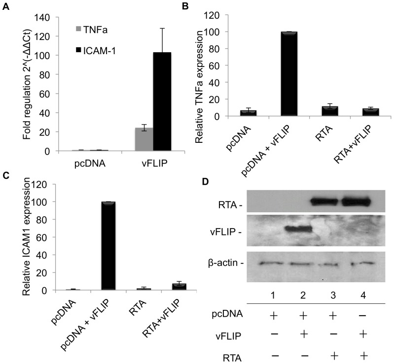 RTA inhibits vFLIP-induced expression of TNFα and ICAM1 in 293T cells. A-D. 293T cells were transfected with myc-vFLIP, RTA or empty vector control where indicated. At 72 hrs post-transfection, cells were harvested and split for RNA isolation and western blot (see D). For <t>qPCR</t> total RNA was isolated, reverse transcribed and quantified on an ABI7000 with using primers for TNFα and ICAM1 and <t>Sybr</t> green. The housekeeping genes used in the analysis were B-actin and GAPDH. Data was analyzed using the ΔΔCt method. A. vFLIP induced expression of TNFα and ICAM shown as fold regulation 2∧(-ΔΔCt). B and C. vFLIP induced expression of (B) TNFα, p = 0.0001 and (C) ICAM1, p = 0.0001 in the presence or absence of RTA calculated relative to vFLIP alone. Error bars represent standard error. D. Representative western blot from the same experiment, showing vFLIP and RTA protein expression, and RTA induced degradation of vFLIP.