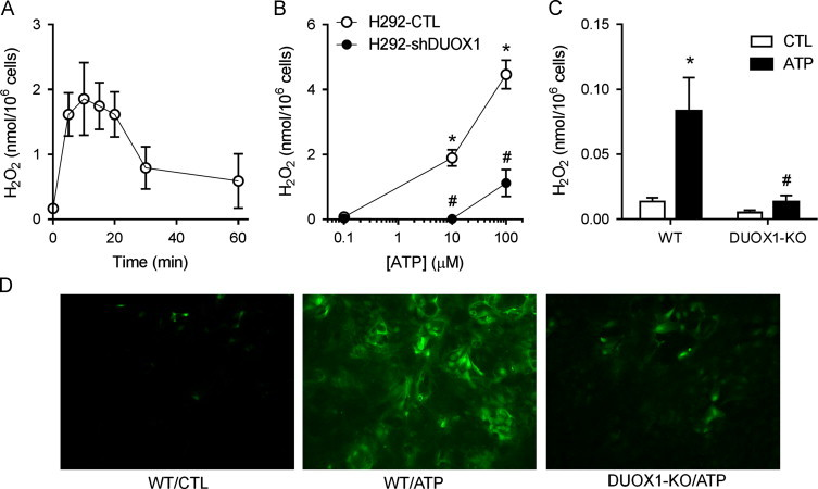 ATP-stimulated oxidant production originates from DUOX1. (A) H292 cells were stimulated with 100 µM ATP for indicated times and H 2 O 2 levels in conditioned media were determined by HPLC. Mean±S.E. from 4 replicates are shown. (B) Dose-dependent production of extracellular H 2 O 2 after 15-min ATP stimulation of DUOX1 shRNA transfected H292 cells (H292-shDUOX1) and corresponding control transfectants (H292-CTL). Mean±S.E. from 4 replicates in 2 separate experiments. (C) ATP-stimulated production of extracellular H 2 O 2 after 15-min stimulation of MTE cells from wild-type (WT) or DUOX1-deficient (DUOX1-KO) mice with 100 µM ATP. Mean±S.E ( n =3). : p