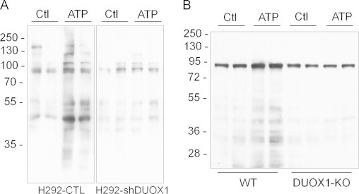 Analysis of DUOX1-dependent protein S -glutathionylation using BioGEE. H292-CTL or H292-shDUOX1 cells (A) or MTE cell from either wild-type or DUOX1 knockout mice (B) were preloaded with BioGEE (250 µM; 1 h), stimulated with ATP (100 µM; 15 min), and cell lysates were mixed with non-reducing sample buffer for analysis by SDS-PAGE, and biotin-labeled proteins were detected by blotting with streptavidin-HRP and enhanced chemiluminescence. Representative blots of 2–3 independent experiments are shown.