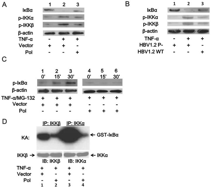 HBV Pol inhibits the activities of IKKα and IKKβ and the degradation of IκBα protein. 293( A .) and HepG2 cells ( B .) were transfected with the plasmids as indicated. Cells were examined at 24 h posttransfection and after stimulation with TNF-α (10 ng/ml) or not for 15 min. Cell extracts were prepared, and IκBα, p-IKKα and p-IKKβ levels were analyzed by western blots. C . 293 T cells were transfected with the HBV Pol or the empty vector for 24 h, then the proteasome inhibitor, MG-132 (20 µM), was added for the indicated times, and cell extracts were prepared and assayed with a phosphoserine IκBα (P-IκBα) antibody. D . The cell extracts were immunoprecipitated by anti-IKKα or anti-IKKβ antibodies and further analyzed by an in vitro kinase assay (KA) using GST-IκBα (1–54) as the IKK substrate. The IKK protein level in each precipitate was also determined by western blot. β-actin was used as the control for the western blots.