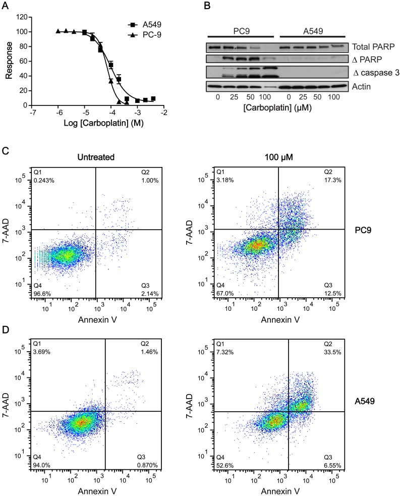 Differential responses to carboplatin treatment in PC9 and <t>A549</t> cells. A: Carboplatin-induced growth inhibition in PC9 and A549 cells using a sulforhodamine B assay 72 h post treatment. B: Western blot analysis of the levels of uncleaved PARP, cleaved PARP and cleaved (active) caspase 3 72 h post carboplatin treatment (0–200 µM) in PC9 and A549 cells. Actin was used as a loading control. C, D: Flow cytometric analysis of PC9 (C) and A549 cells (D) treated with carboplatin (100 µM) or vehicle. Apoptotic cells were identified by Annexin V-Alexafluor488 (λ Ex/Em = 495/519 nm) and necrotic cells by 7-AAD (λ Ex/Em = 546/647 nm). Population Q4 represents viable cells, whereas population Q3 represents apoptotic cells that have low 7-AAD fluorescence and stain with Annexin V. Population Q2 represents secondary apoptotic/necrotic cells.