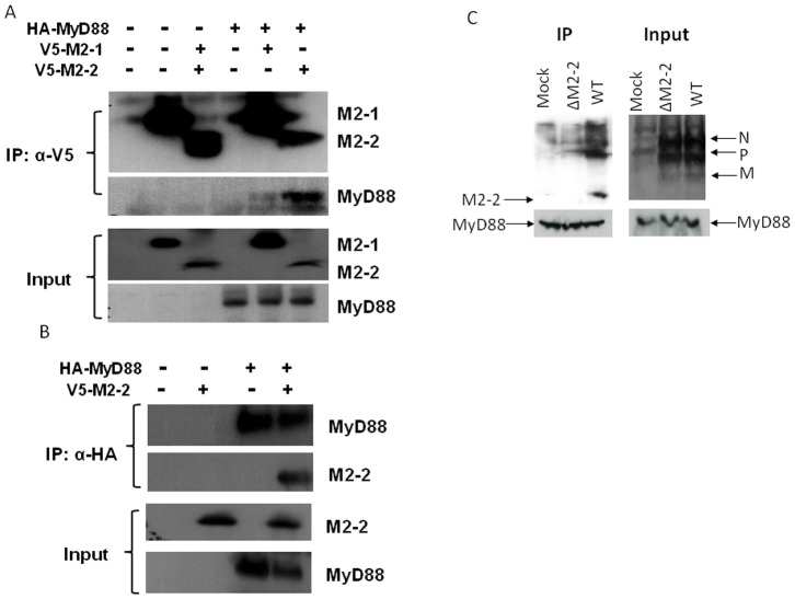 M2-2 interacts with MyD88. ( A–B ) M2-2 forms a complex with MyD88 in the overexpression system. 293 cells were transfected with plasmids encoding HA-tagged MyD88 and V5-tagged M2-2 or their control vectors as indicated. Total cell lysates were immunoprecipitated with an anti-V5 antibody followed by Western blotting using an anti-Flag antibody to detect MyD88 ( A ). Reverse immunoprecipitation was also done, where MyD88 was immunoprecipitated using an anti-HA antibody and M2-2 protein was then detected using an anti-V5 antibody ( B ). Membranes were stripped and reprobed to check for proper IP of M2-2 and MyD88. A small aliquot was also prepared before the IP for a Western blot for equal input of MyD88 and proper expression of M2-2 in 293 cells. ( C ) Viral M2-2 binds to endogenous MyD88 in the context of hMPV infection. THP1 cells were mock infected or infected with rhMPV-WT or -ΔM2-2, at an MOI of 5, and harvested at 24 h p.i. to prepare total cell lysates. Samples were subjected to immunoprecipitation using an anti-MyD88 antibody or control isotype. The immunoprecipitated complexes were then subjected to SDS-PAGE followed by Western blotting using an anti-hMPV antibody. The membrane was then stripped and reprobed with an anti-MyD88 antibody to determine levels of immunoprecipitated MyD88. Data are representative of two independent experiments.