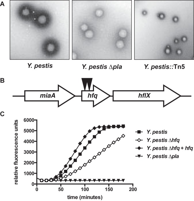 Hfq contributes to the regulation of Pla activity. (A) Y. pestis was grown on <t>BHI</t> agar and then overlaid with a top agar containing fat-free milk and human Glu-Plg. Activation of plg by Pla results in a zone of clearance surrounding the bacteria (left), while Y. pestis lacking Pla does not produce equivalent zones (middle). Reduced zones of clearance produced by one of the Y. pestis ::Tn 5 mutants recovered from the screen (right). (B) Y. pestis was mutagenized with the <t>transposon</t> TnMod-RKm′, and mutants were assessed for altered zones of clearance. Two mutants with reduced zones of clearance had independent insertions (indicated by black triangles) in the gene encoding the small RNA chaperone Hfq. (C) The plg-activating ability of Y. pestis , an isogenic Y. pestis Δ hfq mutant, a ∆ hfq strain complemented with a wild-type copy of hfq integrated onto the chromosome (Δ hfq + hfq ), and a ∆ pla mutant cultured at 37°C are shown. Data are representative of at least 3 independent experiments.