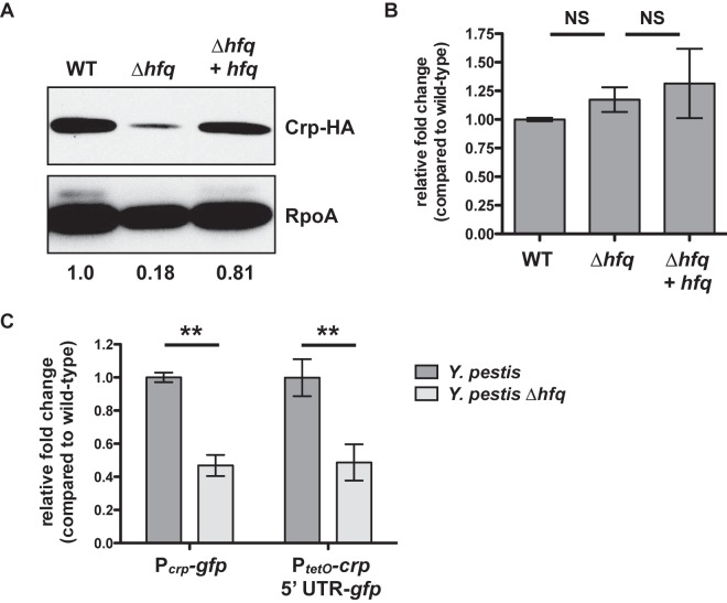 Hfq-dependent, posttranscriptional control of Crp. (A) Wild-type, ∆ hfq , and Δ hfq + hfq Y. pestis strains carrying an HA-tagged version of the crp gene were cultured for 6 h in BHI broth at 37°C, and whole-cell lysates were analyzed by immunoblotting with an anti-HA antibody. RpoA (bottom) is shown as a loading control. The relative density of the Crp-HA band compared with that of the wild type is shown below the RpoA panel. Data are representative of at least 3 independent experiments. (B) Steady-state levels of the crp transcript after 6 h at 37°C. Strains of Y. pestis were grown in triplicate, and the relative fold change of the crp transcript in the ∆ hfq and Δ hfq + hfq strains compared to that of the wild-type bacteria (set at 1) was determined by qRT-PCR using the ∆∆ C T method. Data represent the combination of 3 independent experiments. (C) Wild-type or ∆ hfq Y. pestis strains with the chromosomal-integrated P crp - gfp or P tetO - crp 5′ UTR- gfp reporter constructs were cultured at 37°C for 6 h, and fold change in fluorescence compared with that of the wild type (set at 1), normalized to the optical density of the culture, was determined. For the P tetO - crp 5′ UTR- gfp reporters, ATc was added at time 0. **, P