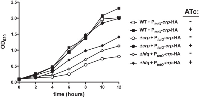 Induction of Crp synthesis partially restores the growth of Δ hfq Y. pestis in rich broth. The same bacterial strains containing the P tetO - crp -HA construct as described in Fig. 5 were cultured in BHI broth with shaking at 37°C for 12 h in the presence or absence of ATc, and at the indicated times the OD 620 was measured. The growth of the strains containing the P tetO - crp -HA construct in the absence of ATc was equivalent to the parent strains without the construct, and the addition of ATc had no impact on the growth of wild-type bacteria (not shown). Data are representative of 3 independent experiments.