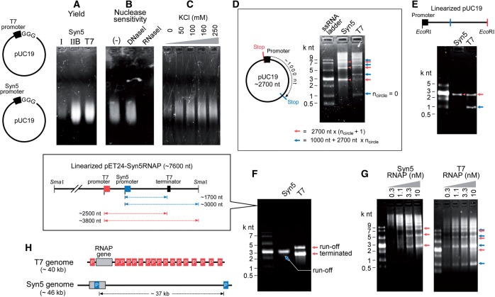 Apparent processivity of Syn5 and T7 RNA polymerases. ( A ) Agarose gel showing RNA synthesis by previously purified Syn5 RNA polymerase (I), newly purified Syn5 RNA polymerase using the improved procedure (IIB) and T7 RNA polymerase on a plasmid template containing a single Syn5 or T7 promoter, as indicated in the schematics at the left. ( B ) The product shown in (A) synthesized by Syn5 RNA polymerase IIB was incubated with 1 U/µl RNase I or DNase I to confirm that it contained RNA. ( C ) Effect of increasing KCl concentration on transcription by Syn5 RNA polymerase. ( D ) Products synthesized by Syn5 and T7 RNAP in a rolling-circle reaction were analysed under denaturing conditions. ( E ) Same assay as in (D) except that the plasmid templates were linearized as shown in the schematic. ( F ) Run-off RNA synthesis by Syn5 and T7 RNA polymerase on template containing a T7 terminator sequence (see schematic). ( G ) The effect of decreasing concentration of T7 and Syn5 RNA polymerase on the processivity of transcription. ( H ) RNA polymerase promoter distribution on coliphage T7 and cyanophage Syn5 genomes.