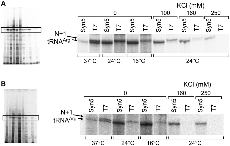 Comparison of T7 and Syn5 RNA polymerase in run-off synthesis of small RNA. ( A ) Effect of temperature and salt concentration on RNA synthesis by T7 and Syn5 RNA polymerase. The region of the predicted product and the N + 1 product is enlarged from the region in the black rectangle from the whole gel. ( B ) The same experiment as described in (A) except that His-tagged T7 RNA polymerase was used.