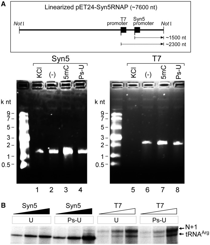 Synthesis of long run-off products and the incorporation of modified nucleosides by Syn5 and T7 RNA polymerases. ( A ) The plasmid template shown in the schematic was linearized with the restriction enzyme NotI. Transcripts produced by 10 nM of either Syn5 or T7 RNA polymerase were analysed on an agarose gel. Lane 1 shows the products of reactions in the presence of 160 mM KCl. Lane 2 shows the products of the same reactions carried out in the absence of KCl. Lanes 3 and 4 show the products of reactions where CTP was replaced by 5mCTP (lane 3) and UTP by Ps-UTP (lane 4) in the absence of KCl. ( B ) Incorporation of UTP or Ps-UTP into small RNA by 22, 67 and 200 nM Syn5 and T7 RNA polymerase as analysed by denaturing TBE PAGE. The region of the gel where full-length run-off products and N + 1 products migrate is shown.