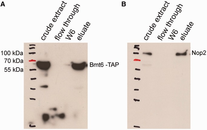 Bmt6 interacts with Nop2 in vivo . To demonstrate the interaction of Bmt6 with the preribosomal particles and its minor nuclear localization, we immunoprecipitated the total cell extract from Bmt6-TAP–tagged strain using IgG sepharose and analyzed its interaction for Nop2 by western blotting. ( A ) Western blot with PAP antibodies. ( B ) Western blot with anti-Nop2 (EnCor Biotechnology, Florida, USA) followed by anti-mouse IgG-conjugated horseradish peroxidase (Bio-Rad; 1:10 000 dilution). The samples in the different lanes of the gels are crude extract (total cell extract), flow through (unbound cell extract) and wash fraction 6 (the beads were washed six times with IPP-150 buffer) and eluate.
